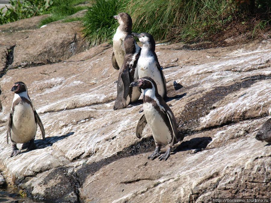 Эти забавные птички приехали сюда из Чили. И очень хорошо прижились на норвежской земле.