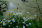 Ромашки у пруда