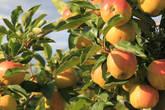 Яблоневые сады под Сан-Реми