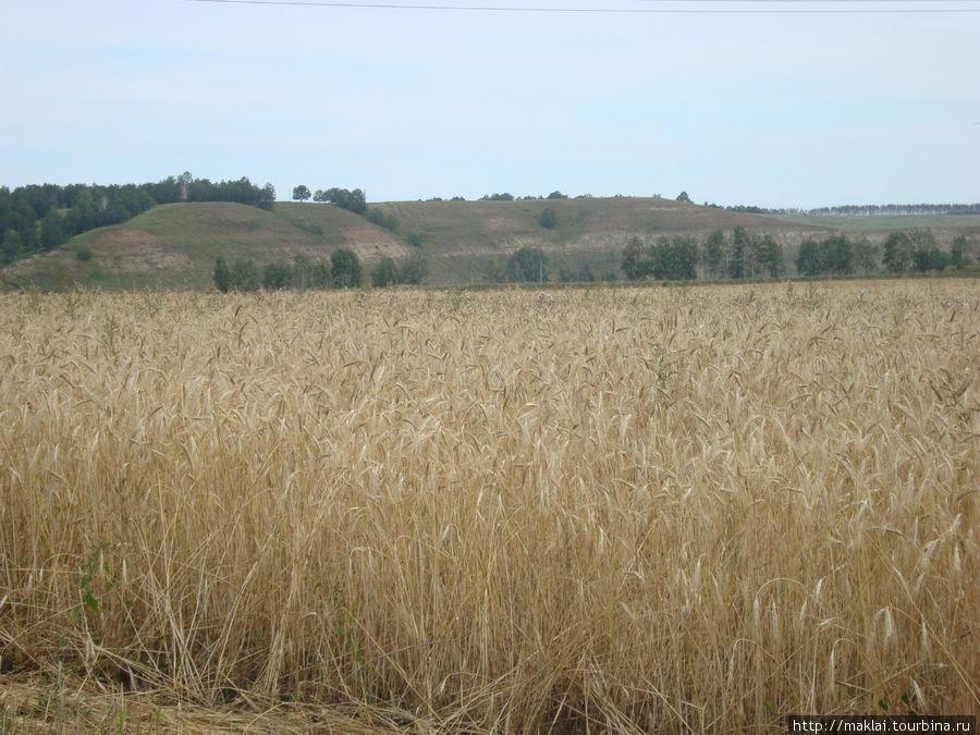 Да, пшеничка в Башкирии у