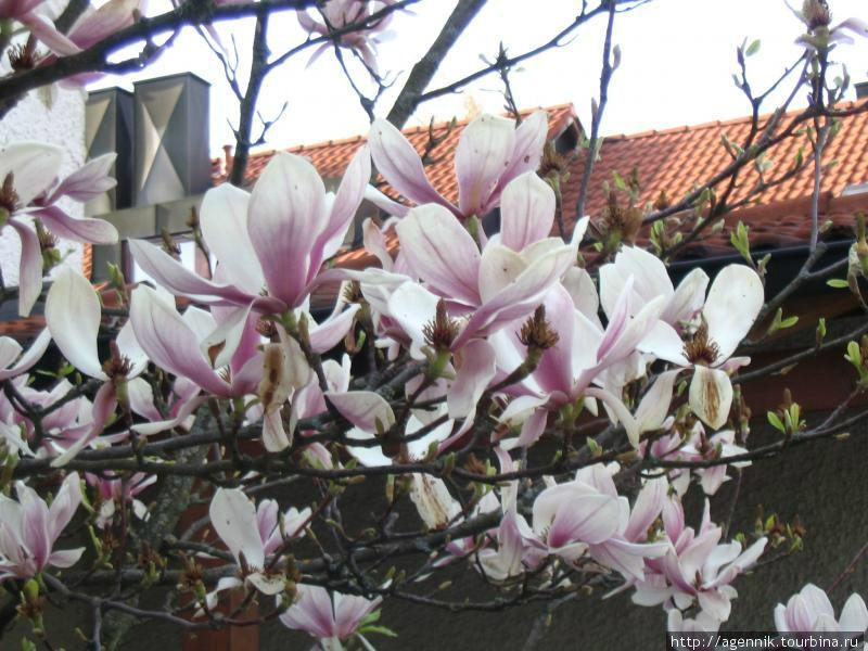 В апреле цветет магнолия