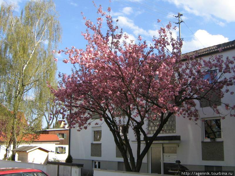 Цветет вишня сакура