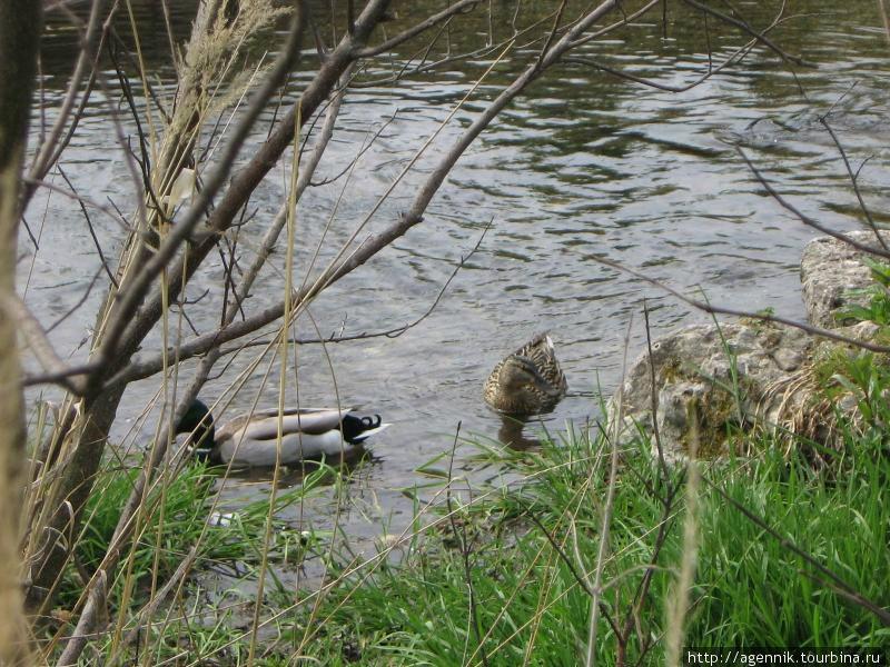 Утки на ручье