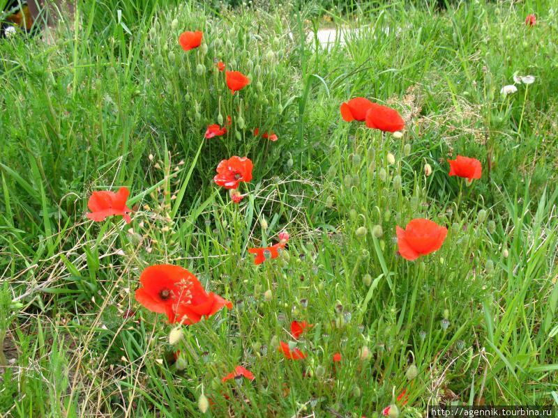 Маки — очень распростаненный в Германии цветок