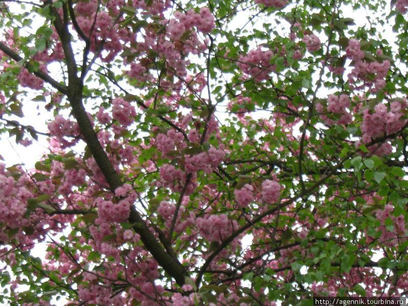 Сакура популярна у местных садоводов