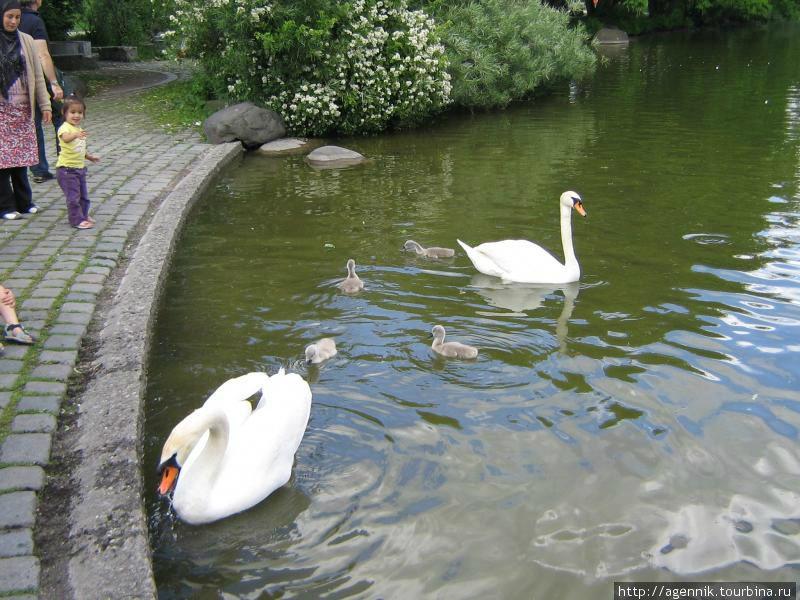 Лебеди — очень наглые и прожорливые. К тому же они хрюкают!