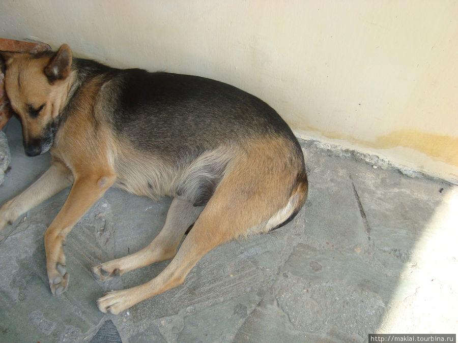 Это ещё один крымский пёс-бахчисарайский. Отдыхает. У него сиеста.