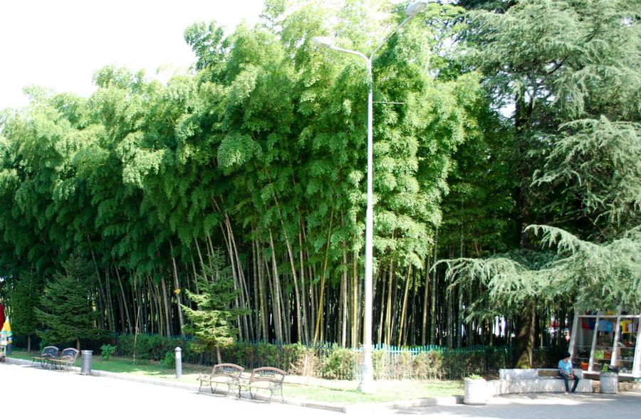Бамбуковый сад на батумском бульваре.