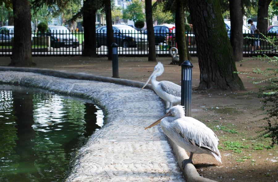 Пеликаны. Спокойная птица.