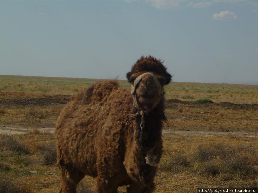 Южно-казахстанский верблюд