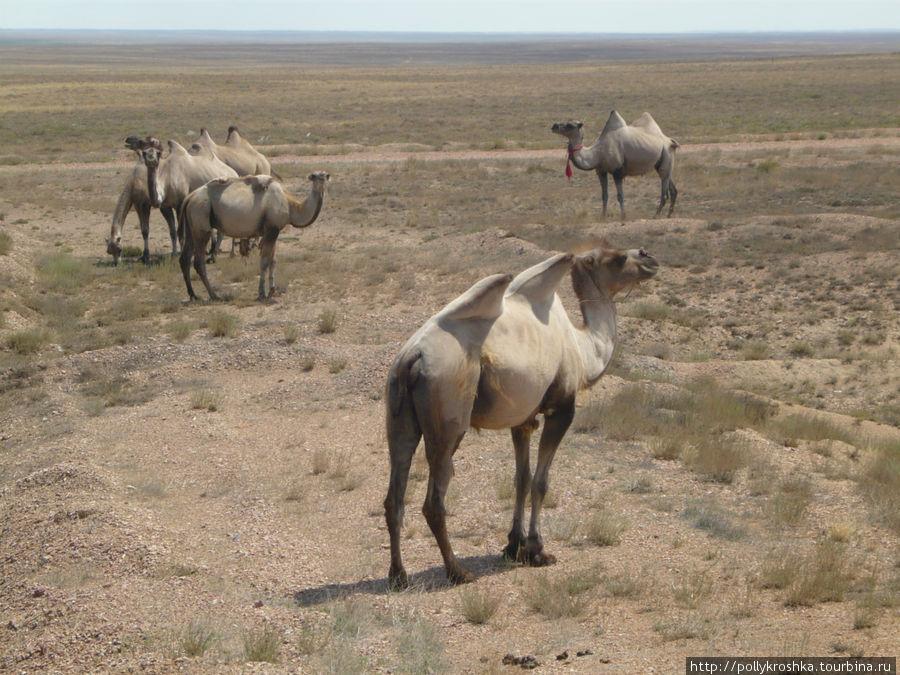 Балхашские верблюды выглядят намного упитаннее и южно-казахстанских