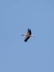 Белый аист- это самый известный из представителей аистов. Это белая птица с чёрными концами крыльев, длинной шеей, длинным тонким красным клювом и длинными красноватыми ногами. Когда крылья у аиста сложены, создаётся впечатление, что вся задняя часть тела аиста чёрная. Отсюда его украинское название — черногуз. По окрасу самки неотличимы от самцов, но несколько меньше. Рост белого аиста составляет 100—125 см, размах крыльев 155—200 см. Масса взрослой птицы достигает 4 кг. Продолжительность жизни белого аиста в среднем составляет 20 лет. Внешне на белого аиста похож дальневосточный аист, но в последнее время он считается отдельным видом.