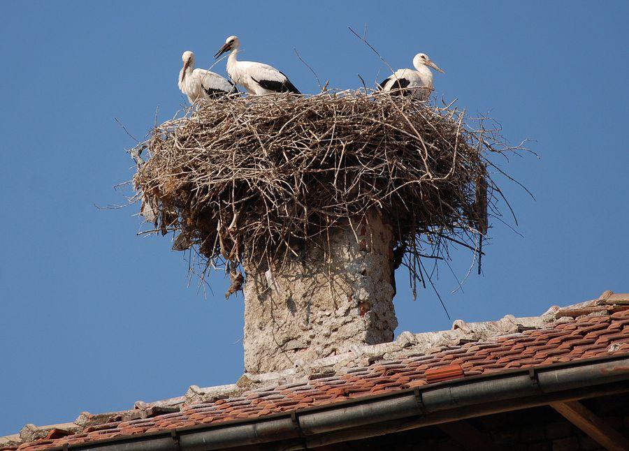 Аистовые — семейство птиц