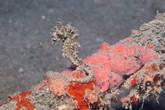 Самый обычный морской конек. Сантиметров 10-15.