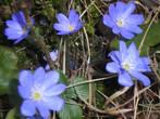 Лесные красавицы -печёночница обыкновенная -их зовут.