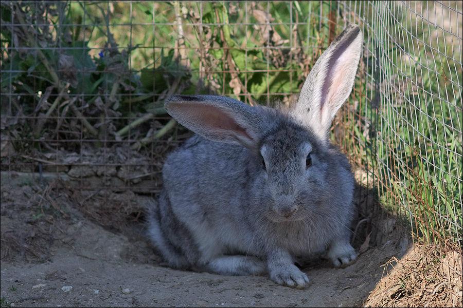 Самый важный кролик