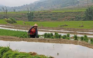 13. Молодой рис выдёргивается и связывается в пучки, которые так и стоят в воде с корнями.
