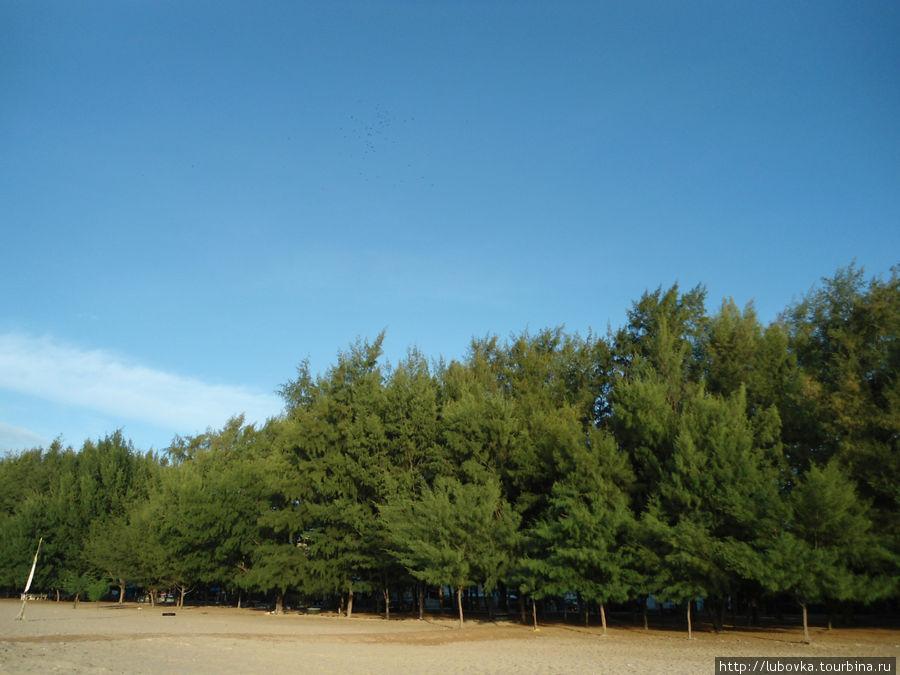 Казуариния хвощевидная (Casuarina equisetifolia). Ча-ам, Таиланд