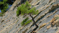 Сосны на скалах
