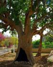 Считается, что та самая смоковница, на которую залез Закхей сохранилась до наших дней. Знаменитое дерево находится в центральной части Иерихона. Наличие дупла и характерное оплывание наружных слоев древесины ствола в его нижней части свидетельствует о древности данного дерева.