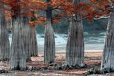 Местные рассказываю,что весной вода в озере сильно поднимается и кипарисы стоят вообще наполовину в воде. Вода доходит до уровня,где заканчиваются утолщения кипарисов.