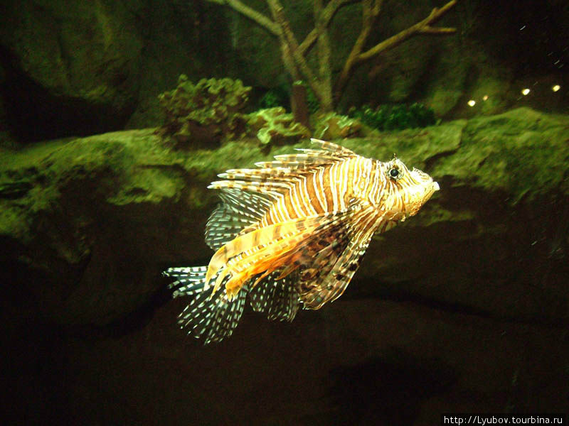 Такая красивая, но очень ядовитая рыбка