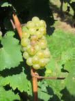 Элзаский виноград