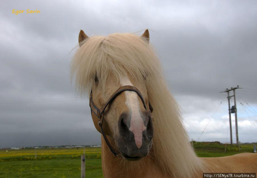 Один из многочисленных исландских коней, кои встречаются по всей Исландии!