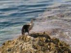Эту птичку поймать в кадр очень сложно, особенно в воде, она глубоко ныряет в воду и проплывает длительные расстояние и неизвестно в каком месте вынернет.