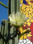 Цветёт кактус. Плая де Лас Америкас.