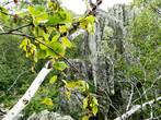Береста березы не пропускает ни воду, ни газы. Вот и придумала природа специальные черточки на ней – чечевички, межклеточные промежутки, через них и проникает кислород внутрь дерева. А зимой они замуровываются, предохраняя ствол от промерзания