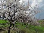 Одно но, цветение абрикос совпало с сильными ветрами, лепестки быстро облетают и в этом году не получается эффект максимального цветения