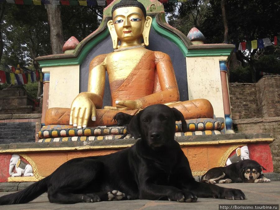 Местные собаки тоже исповедуют буддизм — они очень миролюбивы и отличаются спокойным нравом.
