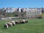 Опять овцы на фоне Шиле