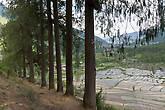 Кипарисы и рисовые поля. Гигантский кипарис — национальное дерево Бутана