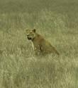 Лев съел зебру