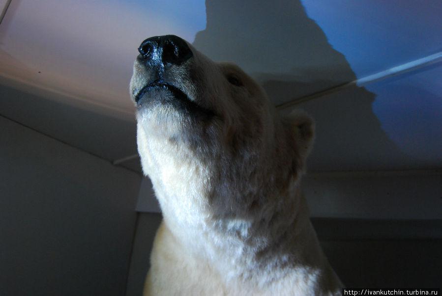 Исследоваиня Арктики предполагают встречу с хозяевами тамошних мест — белыми медведями