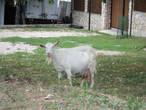Местная коза пришла в гости.