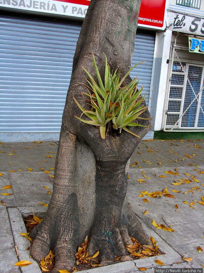 Таинственный кактус выросший в дупле дерева — прикольно, но не такая уж важная тайна!