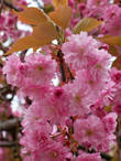 Цветёт японская сакура (лат. prunus serrulata)