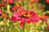 Яркие цветы цинии — будто привет из лета, когда в чугуевскую усадьбу съезжаются на Репинские пленэры художники из разных стран мира.