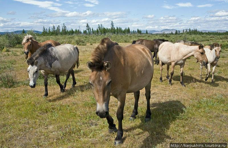 Якутские лошади на свободном выпасе. Открытые полустепные участки в широких долинах и межгорных котловинах называются в Якутии аласами. Это и есть основные пастбища.
