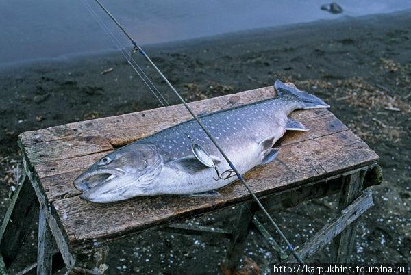 Голец – самая крупная и ценная рыба в Путоранах. Вес некоторых экземпляров может превышать 10 килограмм.