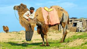 Наблюдая как фотографы снимают  апашку, ловко управляющуюся с упрямыми верблюдами, ее сын повис на шее бактриана, чтобы привлечь к себе внимание. Ему это удалось – и он попал в кадр