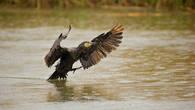 Большой баклан самая многочисленная и заметная птица  региона