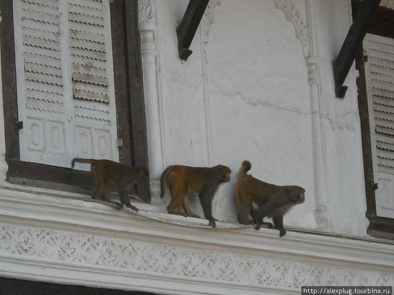 А обезьяны до сих пор злобно завидуют и гадят сверху на благословенный город Катманду.