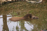 Тапир, полускрытый озерцом