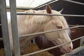 Лошадка-блондинка с голубыми глазами. Пользуется бешеной популярностью у арабских шейхов