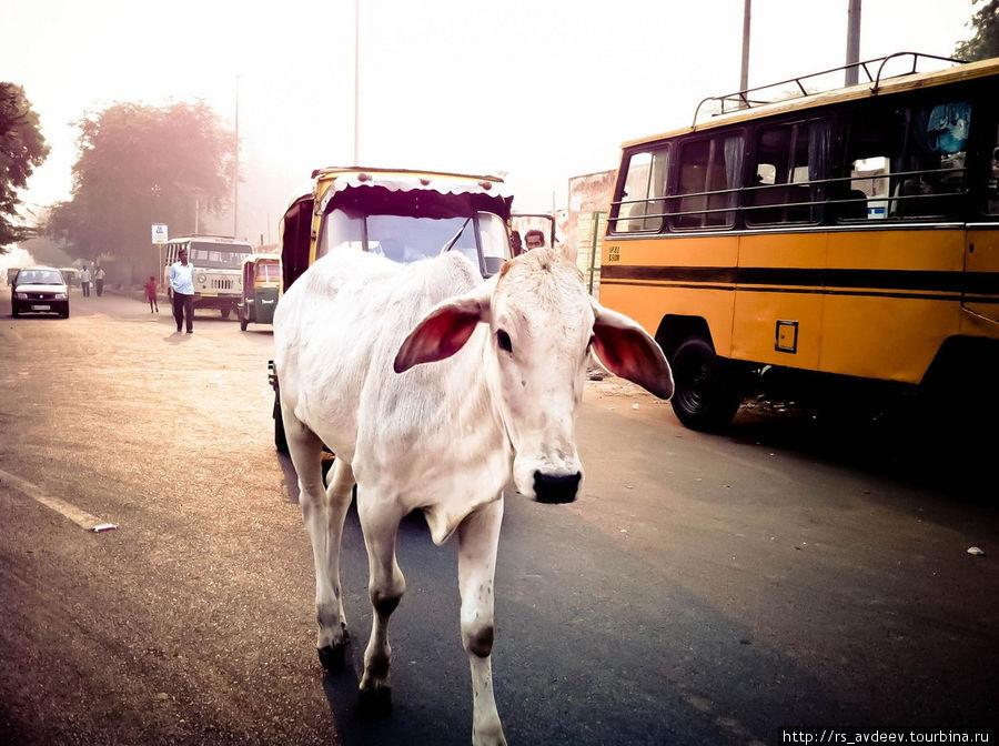 Коровы гуляют везде, священные животные... Даже попрошайничают, как собаки. И едят из мусорок. Все равно что в Москве кошек встретить или собак...