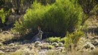 Заяц-толай спрятался в тени куста саксаула. Джамбул-гора. Бетпак-Дала.